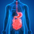 Human Digestive system Anatomy Stomach with Small Intestine
