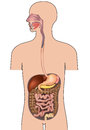 Human digestive system human body anatomy gastrointestinal with details vector illustration isolated on white background Stock Photography