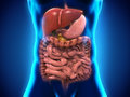 Human digestive system illustration of d render Royalty Free Stock Images