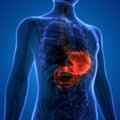 Human Digestive System Stomach Anatomy