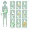 Human digestive system,
