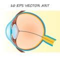 Human eye section
