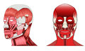 Human face muscles vector drawing of Stock Photography
