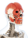 The human facial musculature d rendered illustration of Royalty Free Stock Image