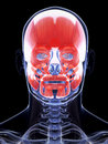 The human facial musculature d rendered illustration of Royalty Free Stock Photo