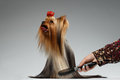 Human Grooming a Happy Yorkshire Terrier Dog on White Royalty Free Stock Photo