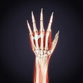 Human hand anatomy illustration d render Stock Photography