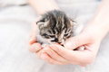 Human hands are holding kitten unrecognizable woman is cute small Royalty Free Stock Images