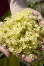 Human hands holding plant closeup of a linden flowers Royalty Free Stock Photo