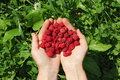 Human hands holding a wild raspberries in shape of heart Royalty Free Stock Photo