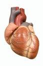 Člověk srdce