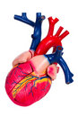 Human heart, anatomical model Stock Images