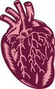 Human heart anatomy Royalty Free Stock Images