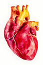 Human heart anatomy illustration Royalty Free Stock Photo