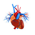 Human heart anatomy illustration on a white background part of a medical series Stock Photos