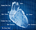 The human heart blueprint concept with descriptions in form Stock Image