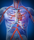 Human Heart Circulation In a Skeleton Royalty Free Stock Photography