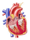 Human heart cross section. Royalty Free Stock Photo