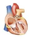 Human Heart Cross Section Royalty Free Stock Photo