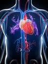 Human heart d rendered illustration of the Royalty Free Stock Photo