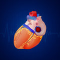 Human heart illustration of a anatomy Royalty Free Stock Photography