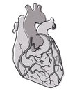 Human heart illustration of isolated on a white background Stock Image