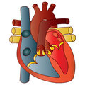Human heart simple illustration of Royalty Free Stock Photos
