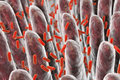 Human intestine with intestinal bacteria
