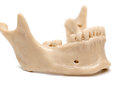 Human jaw on a white background Royalty Free Stock Photo