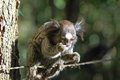 Human like little monkey marmoset eating with one hand Royalty Free Stock Photo
