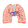 Human lung Stock Photo