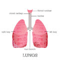 Human lungs anatomy.