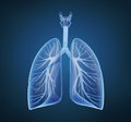 Human lungs and bronchi Stock Image