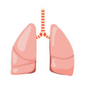 Human lungs vector