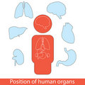 Human organs set Stock Images