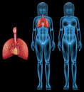 Human respiratory system illustration of the Stock Images