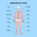 Human skeletal system vector bone anatomy illustration Royalty Free Stock Photo