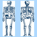 Human skeleton anatomy Royalty Free Stock Photo