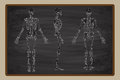 Human Skeleton Blackboard Drawing Vector Royalty Free Stock Photo