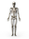 Human skeleton d rendered illustration Stock Photo