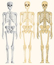 Human skeleton illustration background Royalty Free Stock Photo