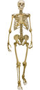 Human skeleton illustration isolated on white background with Stock Image
