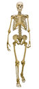 Human skeleton isolated on white background Royalty Free Stock Photo
