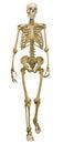 Single human skeleton on white Royalty Free Stock Photo