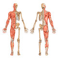 Human skeleton posterior anterior view didactic board anatomy human bony muscular system Stock Photo