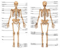 Human skeleton posterior anterior view didactic board anatomy human bony system Stock Photo