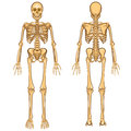 Human skeleton vector illustration body anatomy and internal organ Royalty Free Stock Images