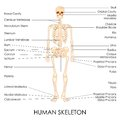 Human skelton vector illustration of diagram of Royalty Free Stock Photo