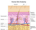 Human skin anatomy, labeled version Royalty Free Stock Photography