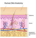 Human skin anatomy, non-labeled version Royalty Free Stock Photo